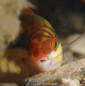 Clown Wrasse juvenile by Suzan Meldonian 